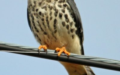 Poštolka pestrá webkamera z hnízda