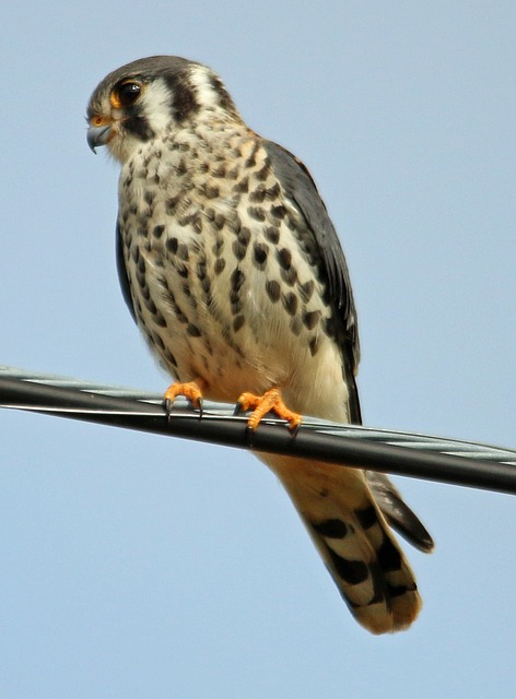 kestrel, falco