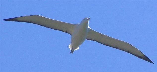Albatros královský největší pták na světě