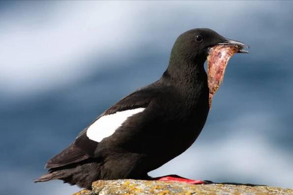 Alkoun obecný na ostrově Seal