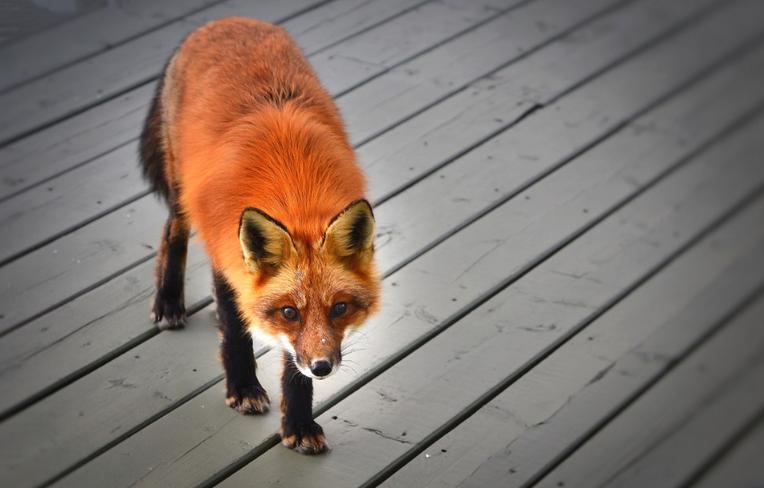 Tam,kde lišky dávají dobrou noc