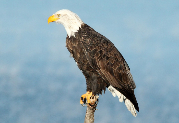 Hatching pups of the Bald Eagle