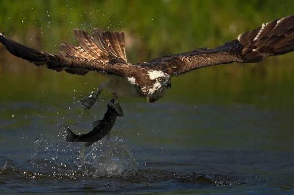 Líhnutí orlovců říčních v Estonsku