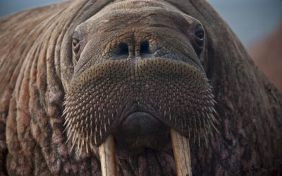 Walrus - webcam from the beach