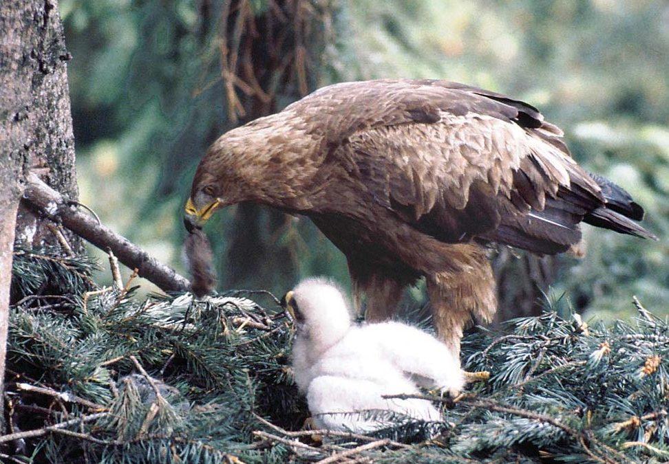 Águila gritando viva