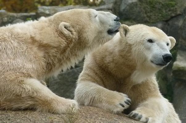Lední medvědi v ZOO