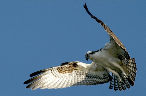 Mladí orlovci říční už létají!