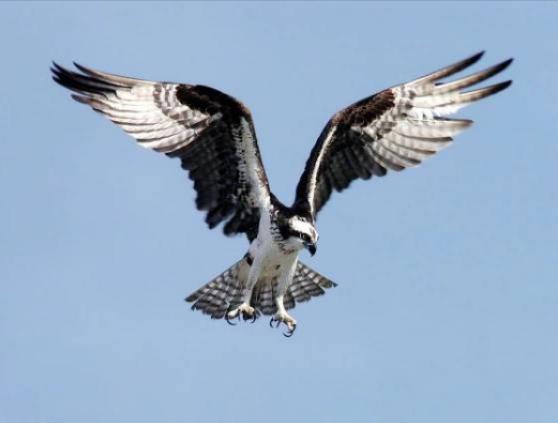 První let orlovců říčních V87 a V88