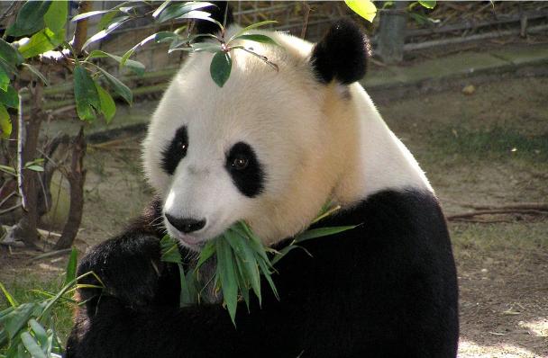 Ohrožená Panda velká