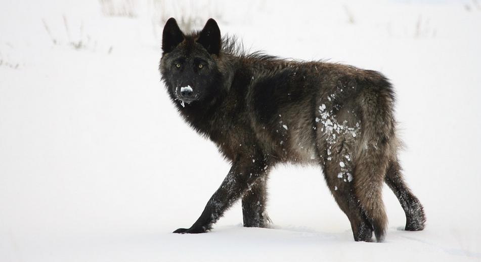 Příběh černého vlka dokumentární film