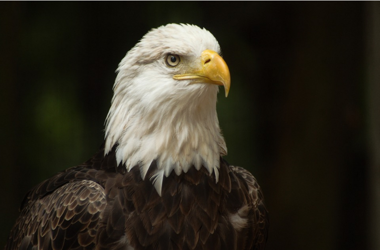 Cámara web águila calva en Decorah