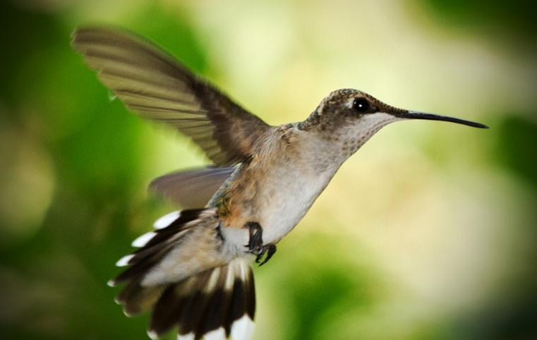 Hummingbirds in Texas