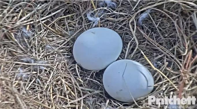 Samička  Harriet snesla 2 vajíčka
