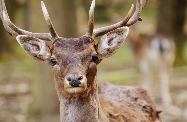 Zubři a jeleni v polesí Browsk