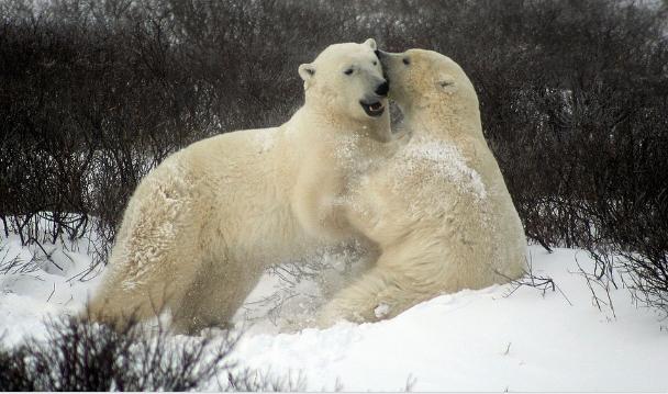 Lední medvědi v Hudsonově zátoce