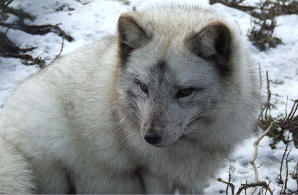 Polární liška v Hudsonově zátoce