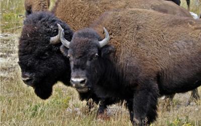 Bizoní farma živě