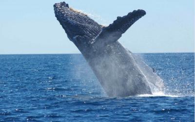 Dokumentární film o velrybách keporkak,velryba jižní