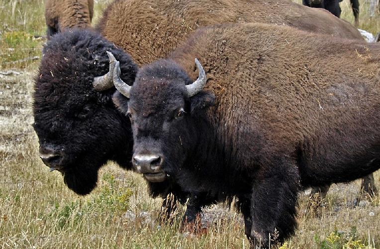 Buffalo Farm Live