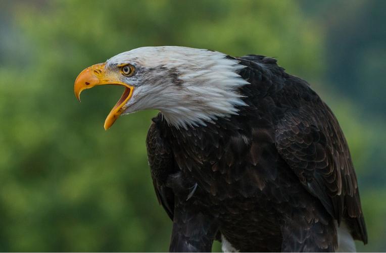Hnízdo orlů bělohlavých Santa Cruz