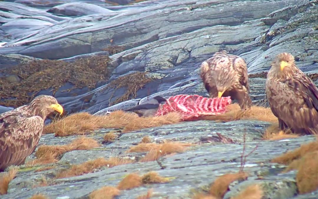 Orli mořští na ostrově