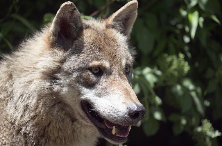Návštěva vlků u zubrů