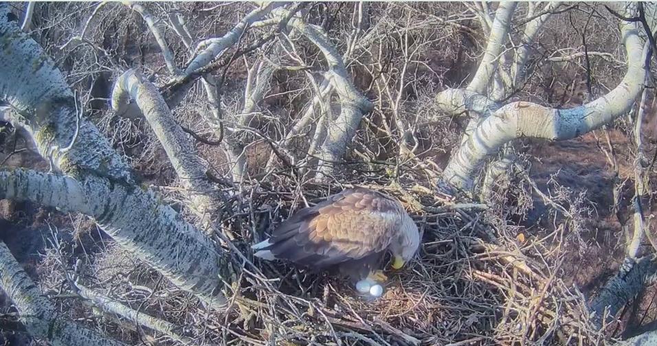 Samička snesla třetí vajíčko