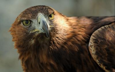 Orel skalní – webkamera