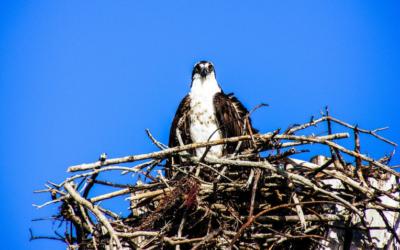 Orlovec říční – webkamera z Montany