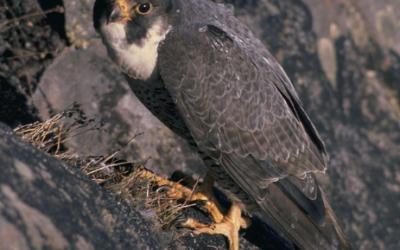 Sokol stěhovavý – hnízdo Anacapa