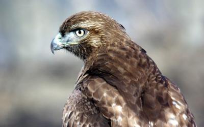 Káně rudoocasá –  webkamera Ithaca