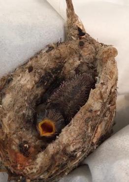 Mládě kolibříka prosperuje