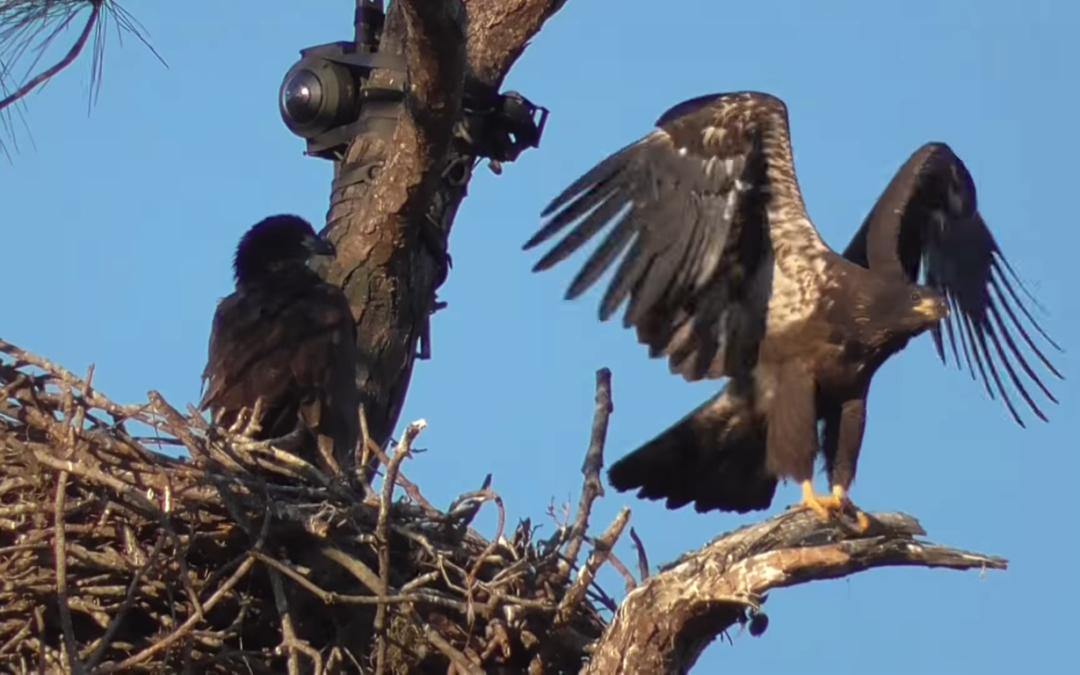 Mladí orli prozkoumávají hnízdící oblast