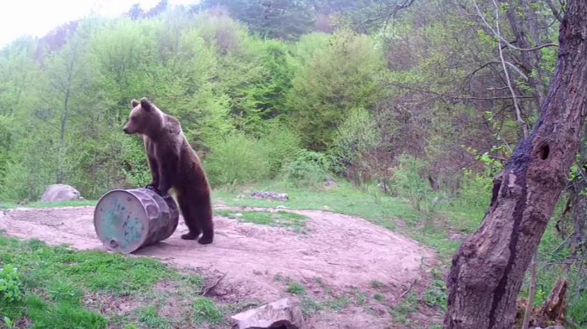 Medvědi v Rumunsku