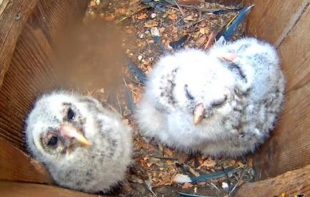 Tři mláďata puštíka proužkovaného