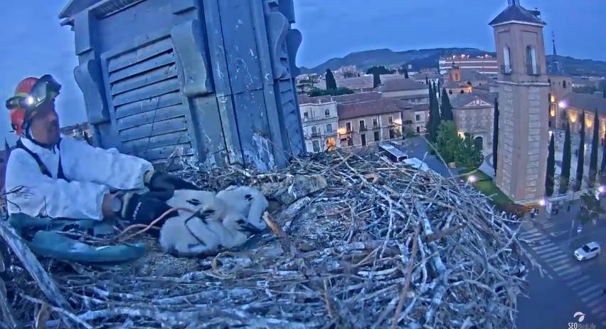 Záchranná akce na čapím hnízdě ve Španělsku