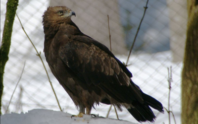 Orel křiklavý – webkamera z Estonska