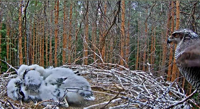 Jestřáb na čapím hnízdě