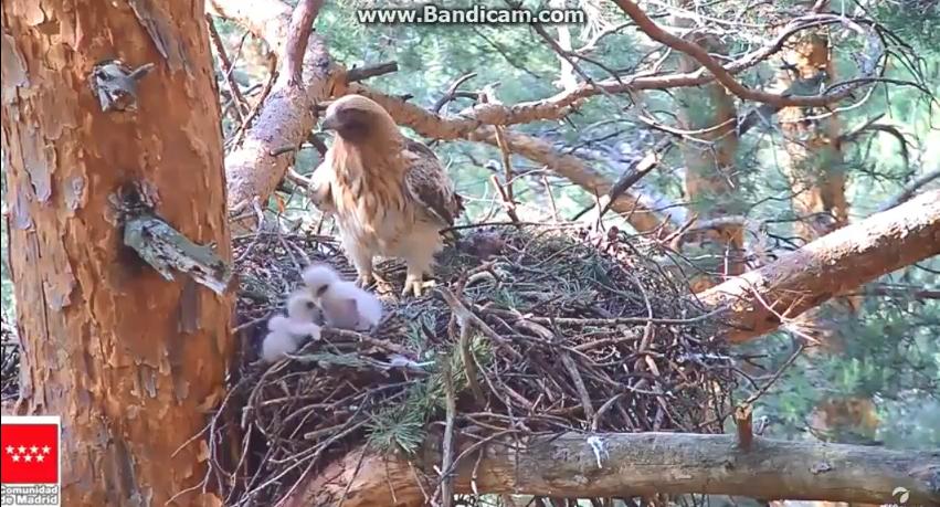 Agrese v hnízdě orlů nejmenších