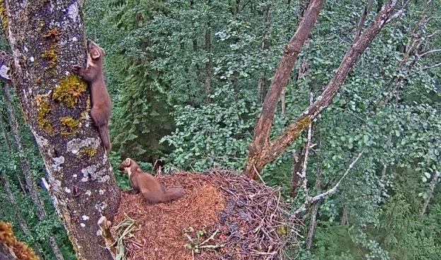 Kuny na orlím hnízdě