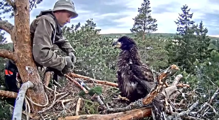 Kroužkování orla mořského v Estonsku