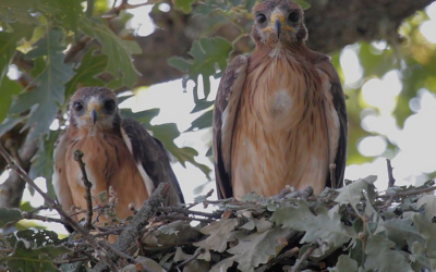 Eagle's kleinste - Els Ports Nature Park