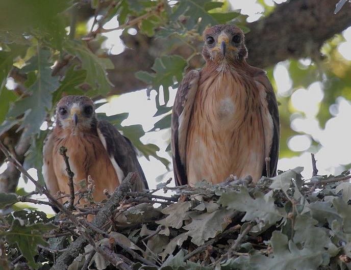 The smallest eagle - Els Ports Natural Park