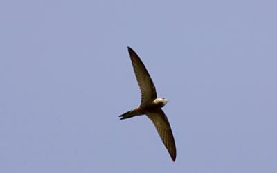Rorýs šedohnědý – webkamera