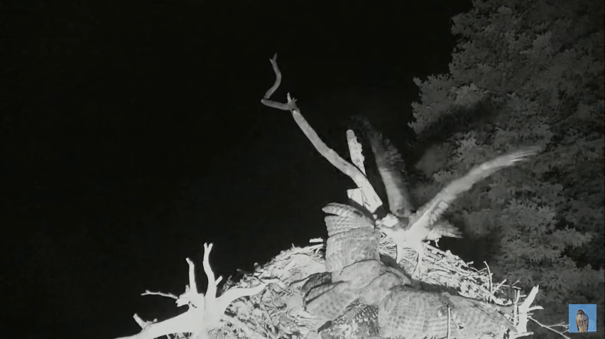 Útok výra virginského na hnízdo orlovců