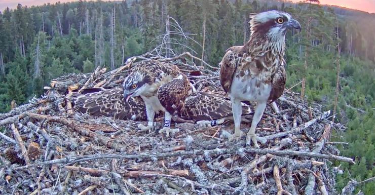 Cizinec na hnízdě orlovců