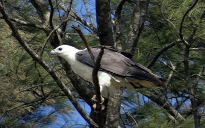Orel bělobřichý – webkamera