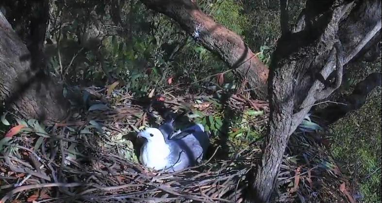 Orel bělobřichý v Austrálii