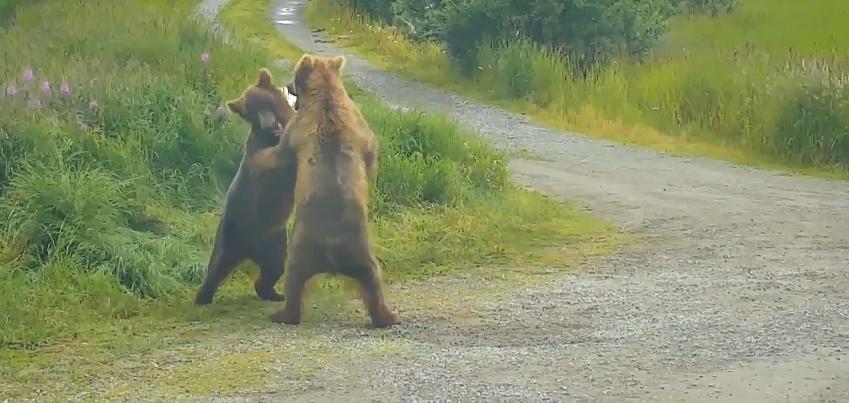 Souboj medvědů