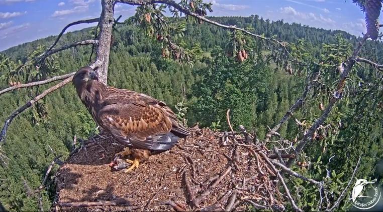 Mladý orel se vrací do hnízda